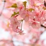 2014年の桜の開花情報一覧!各地のおすすめスポット
