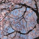 花冷えの季節とは?意味や使い方!日本酒にも使われてる豆知識