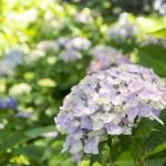 紫陽花の花言葉、色別の由来!結婚式に使うようになったのはなぜ?