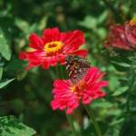 素敵な花言葉を持つ百日草の育て方!種まきや発芽の時期!