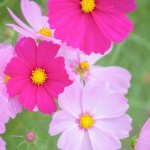 コスモスの色別、花言葉は?花の形からきた由来!