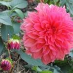 ダリアの色別花言葉!感謝と裏切り、真逆の意味を持つのはなぜ?