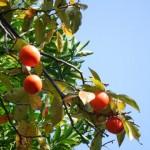 鉢植えの柿の育て方!剪定や摘果の仕方!肥料や挿し木は?