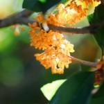 金木犀の花言葉や由来!香りがする季節や時期はいつ?