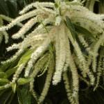 栗の花が咲く時期は?匂いや花言葉!アレルギーの影響は?