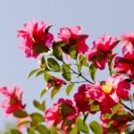 山茶花の色別の花言葉!季節は?椿との違いや見分け方は?