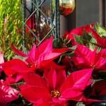 ポインセチアの花言葉や季節!赤やピンク色別は?結婚しないの由来は?