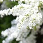 雪柳の花言葉の意味や由来!色や種類、時期は?似た花ってある?