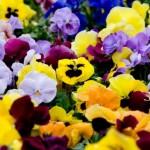 パンジーの色別の花言葉!意味や由来にはバレンタインも関係してた!