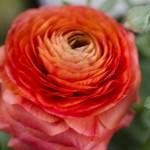 ラナンキュラスの色別花言葉の意味!由来は切ない恋物語から・・・