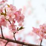 お花見中に花粉症やアレルギー症状が!これって桜花粉症!?