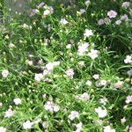 カスミソウの花言葉の意味や名前の由来!種類や開花時期は?