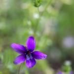 スミレの花言葉の意味や名前の由来!種類で開花時期も違う!?