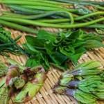 コシアブラやあいこ、しどけなど山菜の種類と特徴!時期は?