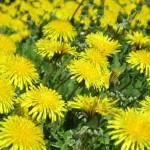 たんぽぽの花言葉!開花時期や綿毛の数、飛ぶ季節はいつ?