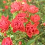 薔薇の種類別の名前と特徴!青や茶色のバラの品種は?