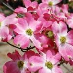 花水木の花言葉!その意味や由来、開花時期は?薬にも使われていた!?