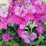 桜草でアレルギーやかぶれ!?花言葉の由来や品種・種類は?