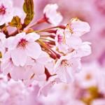 桜花の候の時期はいつ?その由来や同じ意味をもつ同義語は?