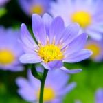 都忘れの花言葉の由来!開花時期や色の種類、育て方は?