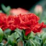 カーネーションの育て方!切り花からの増やし方や寿命を延ばす方法!