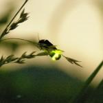 蛍が見れる時期や時間帯は?光る蛍の種類やその寿命はどれくらい?