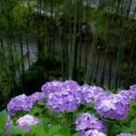 鎌倉のあじさい祭りの見頃の時期!おすすめの場所やコースは?