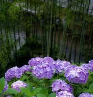 鎌倉の長谷寺のあじさい画像
