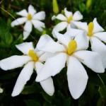クチナシの花言葉の意味!名前の由来や開花時期はいつ?種類は?
