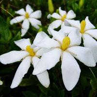 クチナシの花の画像