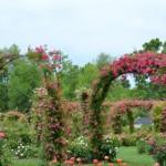 つるバラの種類!花の時期別やミニバラの名前、四季咲きの種類は?