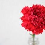 カーネーションの花言葉の由来!母の日以外に贈れる色やその意味は?