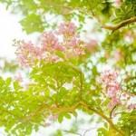 サルスベリの花言葉や名前の由来!色や開花時期、種類の特徴は?