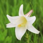 百合(ユリ)の花言葉には怖い由来が!種類や開花時期はいつ?