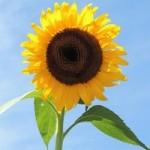 ひまわりの種類!大きい・小さい花の品種は?ゴッホが書いた品種は?