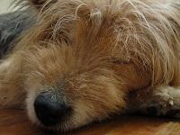 脱水症状の犬の画像
