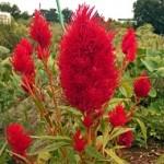 ケイトウの花言葉と色の種類!開花時期や種まき時期はいつ?