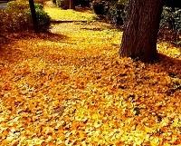 イチョウの落ち葉の画像