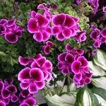 ゼラニウムの色別の花言葉の意味や由来!開花時期や種類は?