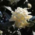 ジンチョウゲの花言葉と育て方!挿し木や剪定・植え替えの注意点