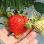 いちごの育て方!初心者にも簡単な品種やプランターでの育て方は?