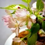 桜盆栽の育て方や手入れ方法!肥料や剪定・水やりの間隔は?