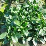 プランターや水耕栽培可能なほうれん草の育て方!連作は育たない?
