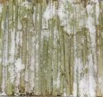 ふきの塩漬けの画像