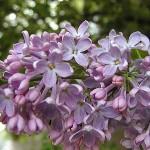 ライラックの紫や白など色別の花言葉!意味は悲しい物語が由来してる?