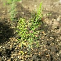 アスパラガスの苗の画像