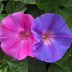 西洋朝顔や朝鮮朝顔など種類別の花言葉!青や白など色でも意味が違う?