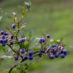 ブルーベリーの花言葉や開花時期はいつ?花が咲かない原因は?