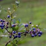 ブルーベリーの育て方!地植え・プランンター向きの品種や剪定時期は?