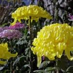 菊の育て方!肥料や切り戻しの注意点や挿し木での増やし方は?
